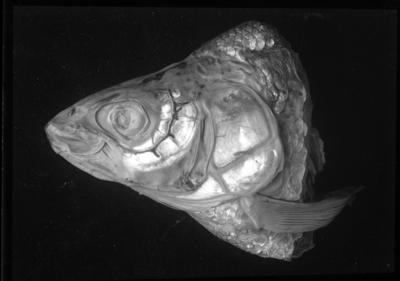 'Kranium av fisk. ::  :: Ingår i serie med fotonr. 5113:1-18.'