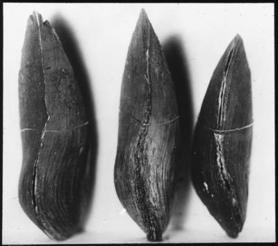 'Bildtext: ''Flodpärlmusslor med pärltecken.'' 3 st skal av pärlmussla, sedda från sidan. ::  :: Ingår i serie med fotonr. 5119:1-8.'