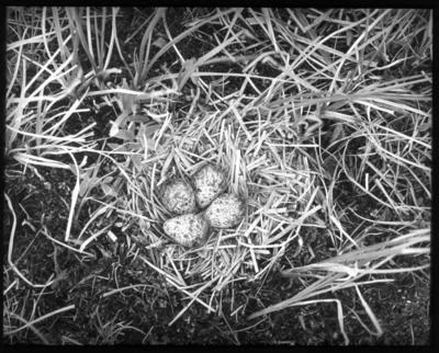 'Bildtext: ''Bo av simsnäppa.'' Bo med 4 fläckiga ägg, simsnäppa. ::  :: Ingår i serie med fotonr. 5161:1-9, se även hela serien fotonr. 5155-5162.'