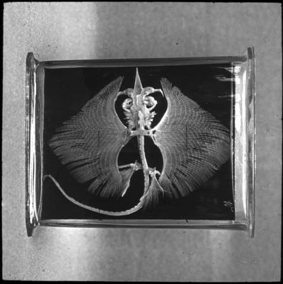 'Monterat skelett av knaggrocka, sett ovanifrån. ::  :: Från Dr. Schlüter & Mass, Halle a S naturvetens. Läromedel. Numrerad I.C. Nr. 15. ::  :: Ingår i serie med fotonr. 5374:1-30. Se även hela fotoserien 5374-5376.'