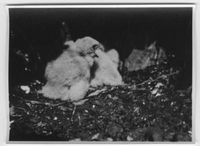 'Tornfalk, minst 2 ungar. Närbild. ::  :: Ingår i serie med fotonr- 1114-1147.'