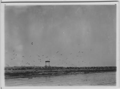 'Koloni, flygande fågelmoln över in över land, från havet. Vid strandkanten. ::  :: Se även fotonr. 1467 samt fotonr. 1762, samma motiv men annat avstånd.'