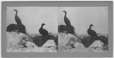 '2 skarvar på bon. Närbild. ::  :: Ingår i serie med fotonr.167-179, 181-184, 186-191, 193-196, 198-203 samt 205-215 med foton från Hilmer Skoogs expedition till Sydafrika år 1912-1913.'