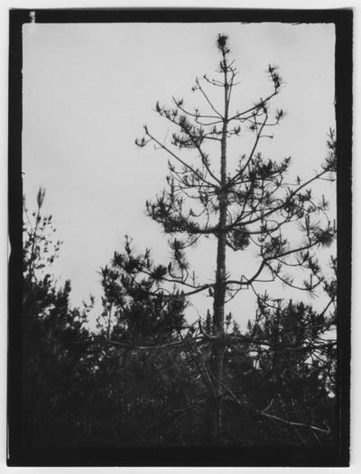 'Bild av bergtallstopp angripen av Myelophilus piniperda. Text på baksidan: ''Pinus uncinata skadade av Myelophilus piniperda.'' ::  :: Ingår i serie med fotonr. 2347-2399.'