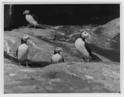 '4 st lunnefåglar på berghäll, i närbild. ::  :: Se serie med fotonr. 3726-3729.'