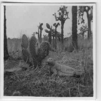 'Galapagosleguan, på håll vid kaktus. ::  :: Se serie med fotonr. 3779-3822.'
