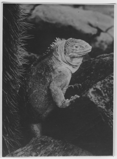 'Galapagosleguan,  närbild ::  :: Se serie med fotonr. 3779-3822.'