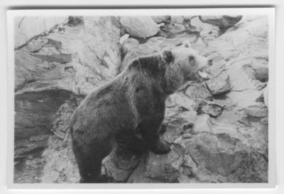 '1 björn på väg uppför berghäll, närbild. ::  :: Ingår i serie med fotonr. 4161-4163.'