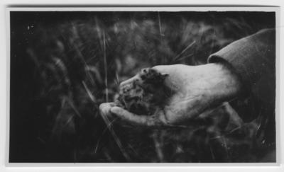 'Nykläckt skrattmåsunge, liggande i människohand. ::  :: Ingår i serie med fotonr. 4401-4440.'