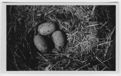 'Bo med 3 st gråtrutsägg. ::  :: Text på baksidan av fotot: ''Gråtrutens bo med 3 st deformerade ägg. Troligen har honan haft något fel på äggledaren. Fotot taget med 40 cm lins.'' ::  :: Ingår i serie med fotonr. 4500:1-172.'