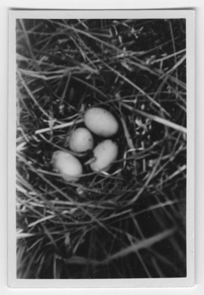 'Bo med 4 st ägg av vigg. ::  :: Text på baksidan av fotot: ''Bo med 4 st nyvärpta ägg av viggen i starrgräs ungefär 10 meter från stranden. Reden bestod av färskt gräs. Fotot är taget på 55 cm avstånd.'' ::  :: Ingår i serie med fotonr. 4500:1-172.'