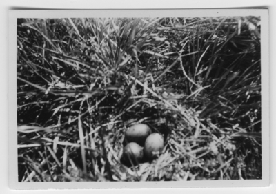 'Text enligt foto: ''Bo med 3 st ägg av skrattmåsen på en tuva. Fotot taget på 55 cm avstånd.'' ::  :: Ingår i serie med fotonr. 4500:1-172.'