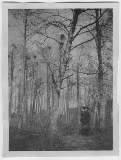 'Råkkoloni vid Onsala prästgård, 2 män står intill björkträd med bon. ::  :: Se även fotonr. 692.'