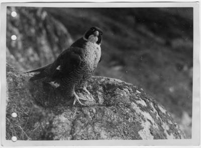 '1 rovfågel  sittande på klippa. ::  :: Ingår i serie med fotonr. 7035:1-12.'