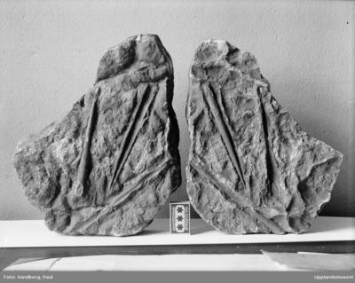 Sten med fossil, ortoceratiter, upphittad vid grävningsarbeten nära ålderdomshemmet i Norberga