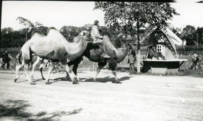 Kameler, på väg till cirkus på Oxabacken.