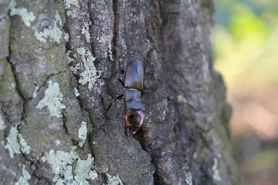 Stag Beetle (Lucanus cervus) from Nușfalău