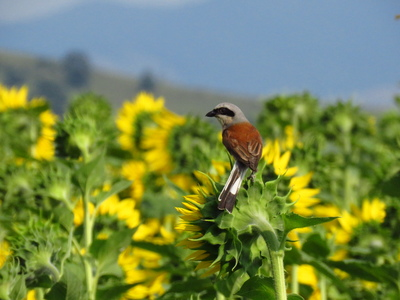 Red-backed shrike (Lanius collurio) from Boghiș