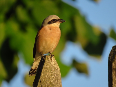 Red-backed shrike (Lanius collurio) from Valcău de Jos