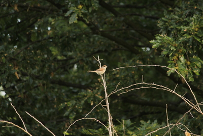 Red-backed shrike (Lanius collurio) from Ratin