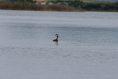 Great crested grebe (Podiceps cristatus) from Crasna