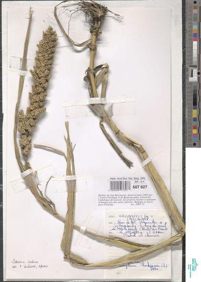 Setaria italica (L.) P.Beauv.