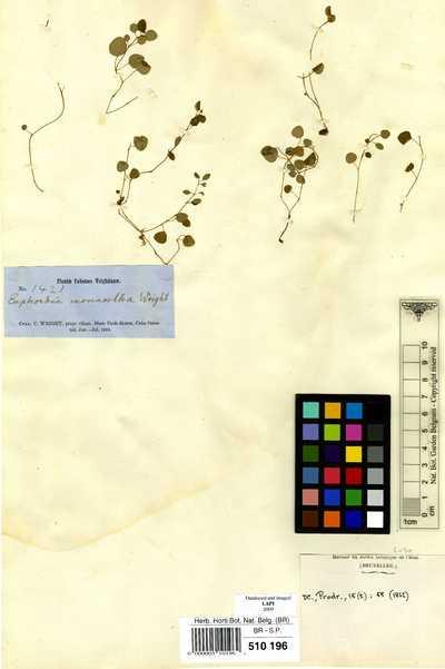 Euphorbia monantha Griseb.