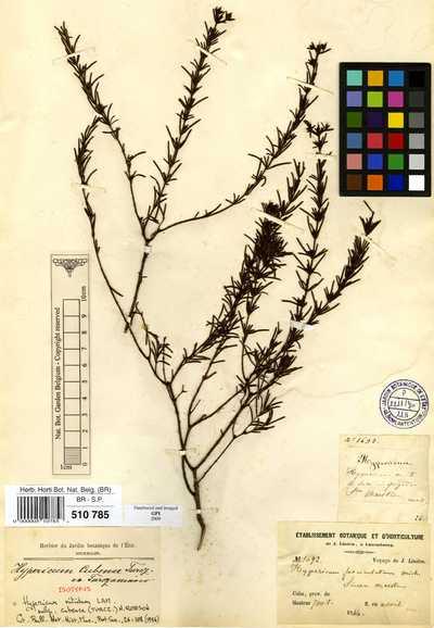 Hypericum nitidum Lam. subsp. cubense (Turcz.) N.Robson