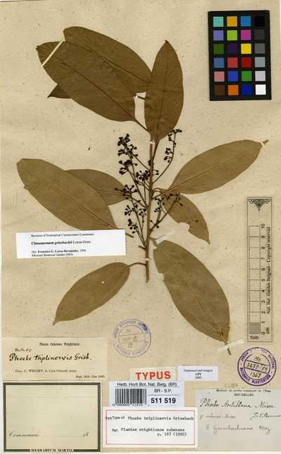 Cinnamomum grisebachii Lorea-Hern.