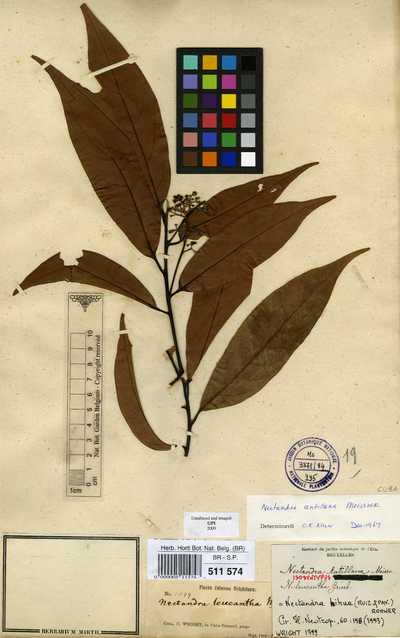 Nectandra antillana Meisn.