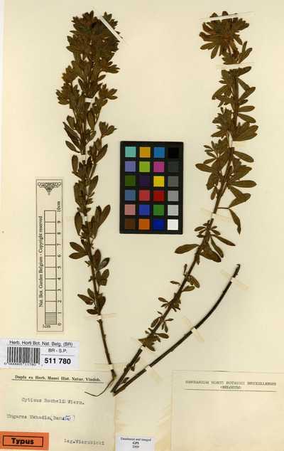 Cytisus rochelii Wierzb.