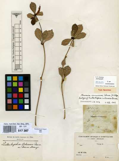 Gesneria verrucosa (Decne.) Kuntze