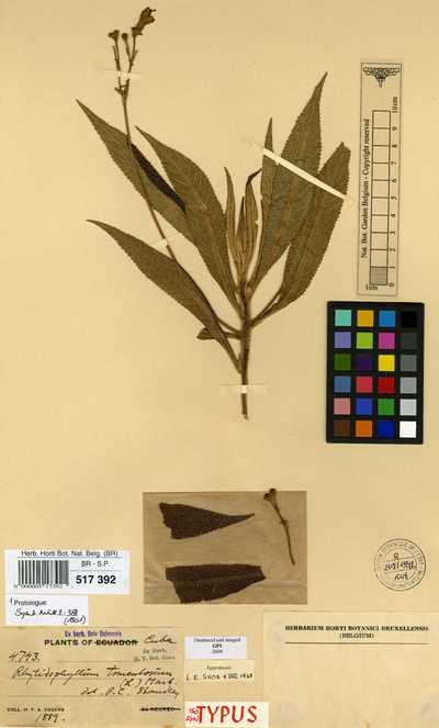 Rhytidophyllum tomentosum (L.) Mart. f. villosulum Urb.