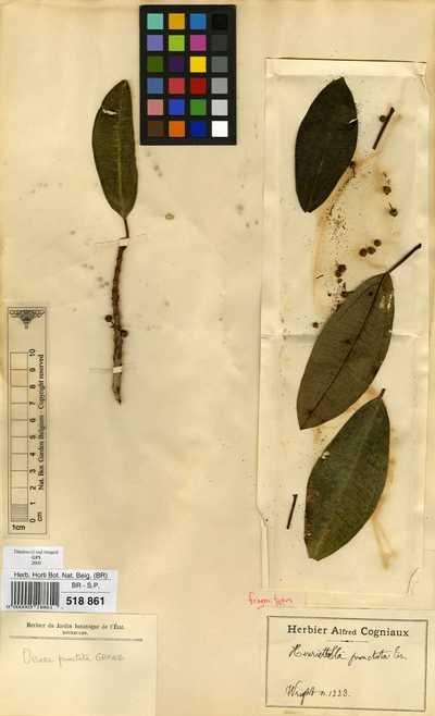 Henriettella punctata (Griseb.) Triana
