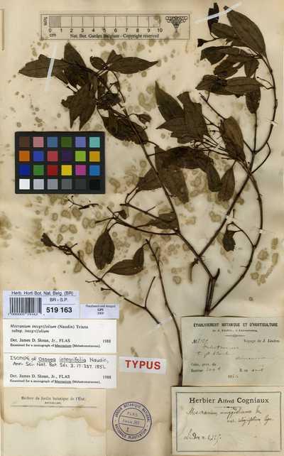 Mecranium integrifolium (Naudin) Triana subsp. integrifolium