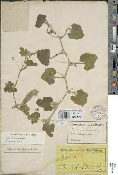 Cucumis melo L. subsp. melo