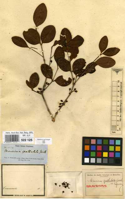 Mouriri spathulata Griseb. var. spathulata