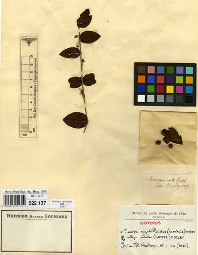Mouriri myrtilloides (Sw.) Poir. subsp. acuta (Griseb.) Morley