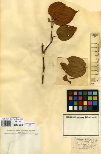 Tetrazygia brachycentra (Griseb.) Triana var. setulifera Cogn.