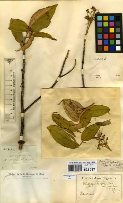 Tetrazygia laxiflora Naudin var. rosea Cogn.
