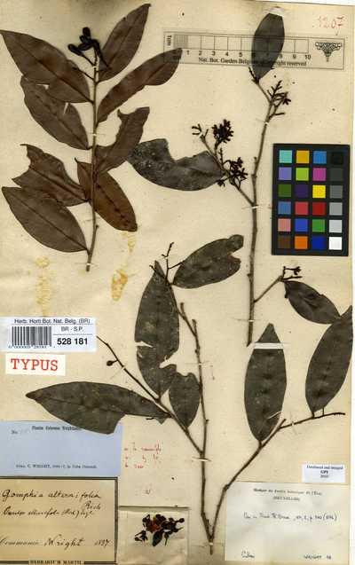 Ouratea alternifolia (A.Rich.) M.Gomez