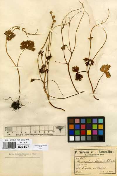 Ranunculus thasius Halacsy