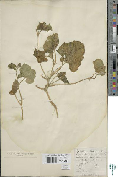 Ecballium elaterium (L.) A.Richard
