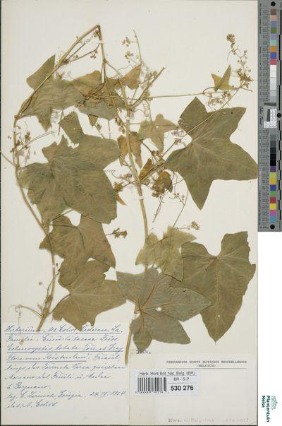Echinocystis lobata (Michx.) Torr. & A.Gray
