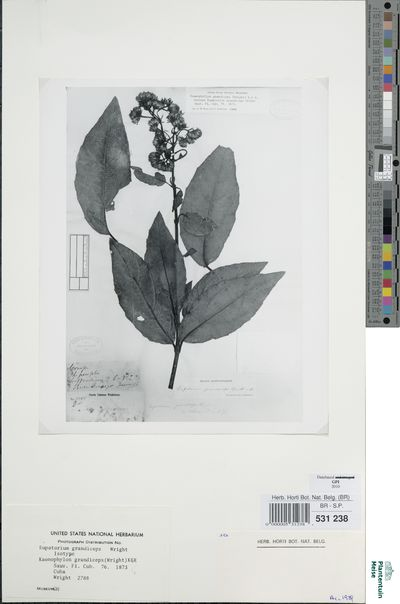 Koanophyllon grandiceps (Wright) R.M.King & H.Rob.