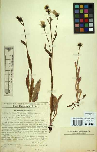 Hieracium fritzeiforme Zahn subsp. portaebucurae Nyarady