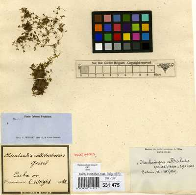 Oldenlandiopsis callitrichoides (Griseb.) Terrell & W.H.Lewis