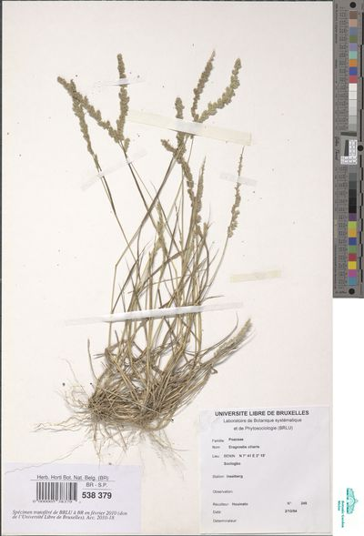 Eragrostis ciliaris (L.) R.Br.