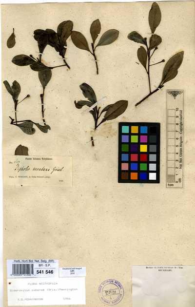 Sideroxylon cubense (Griseb.) T.D.Penn.