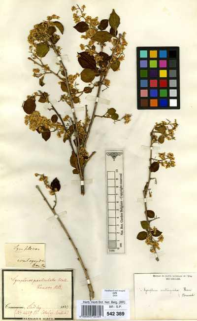 Symplocos paniculata (Thunb.) Makino